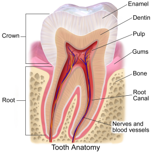 Crown Diagram Evesham Place Dental Stratford-upon-Avon